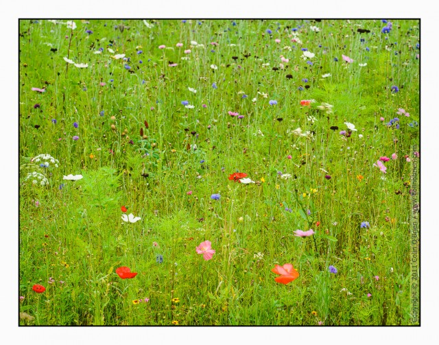 Flower meadow part of gardens at Godolphin, Cornwall