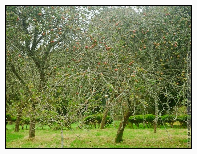 Apple orchard at Godolphin